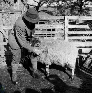 Shepherding, Marking